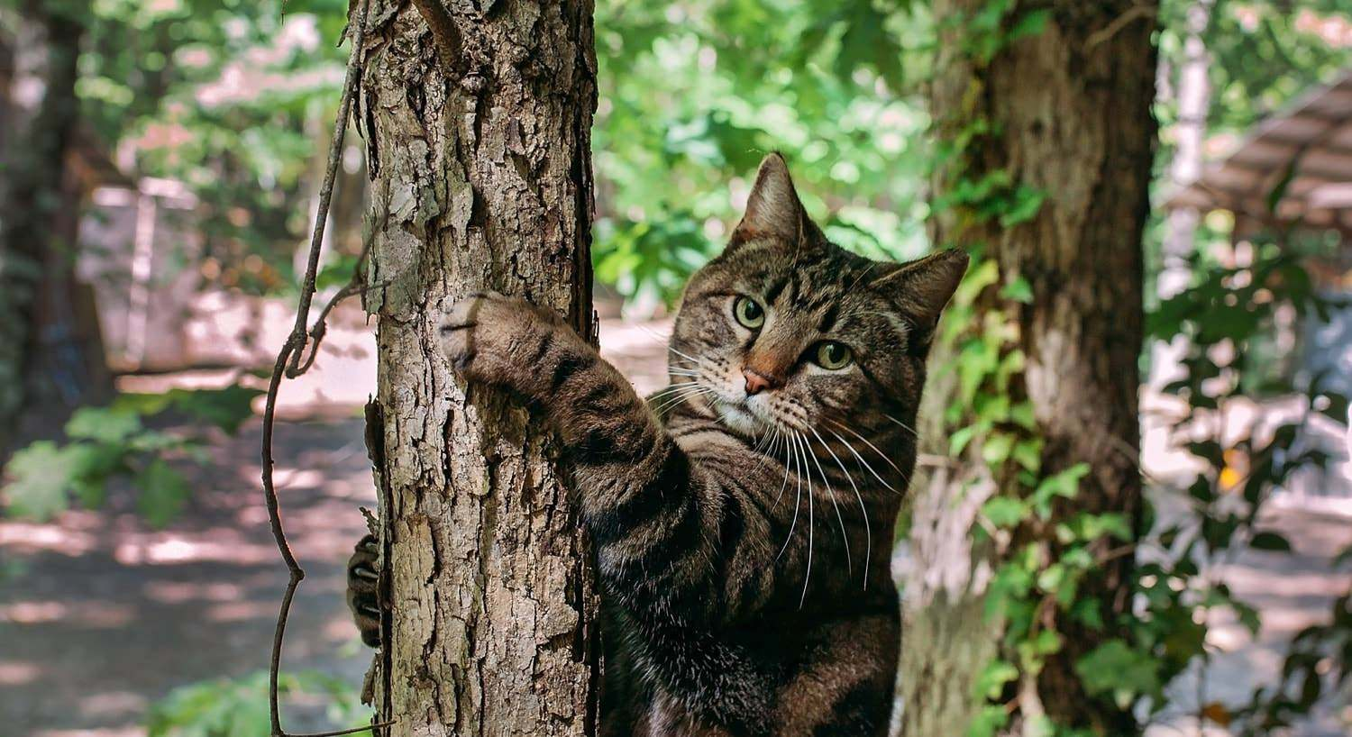 Beautiful brown and black striped cat climbing a tree
