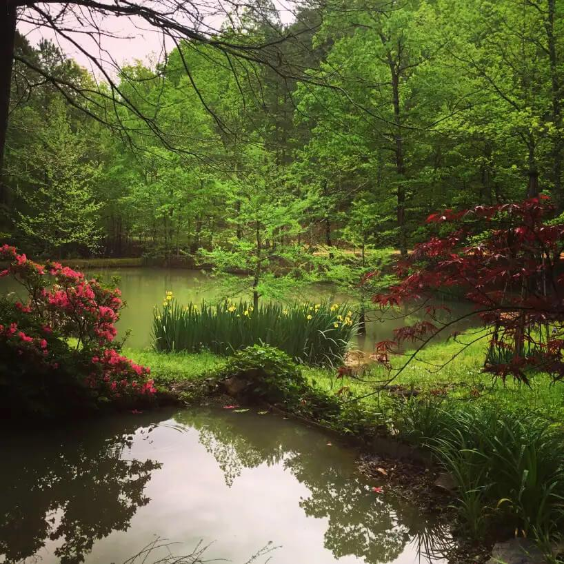 View of pond with pink azaleas, yellow irises, and red Japanese Maple.