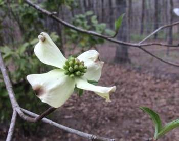 White flower with four large petals growing on a tree surrounded by woods