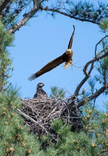 A bald eagle soaring above a nest with a baby eagle in a pine tree